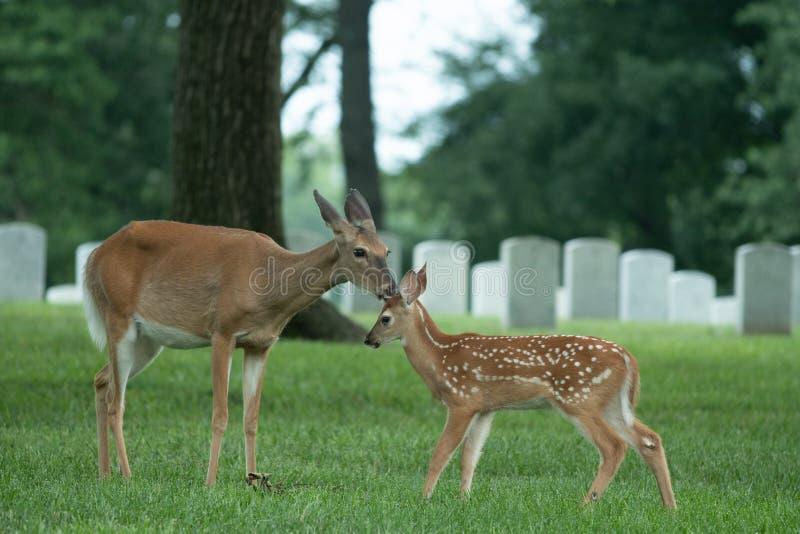 dentailed hjortdoen och lismar royaltyfria foton
