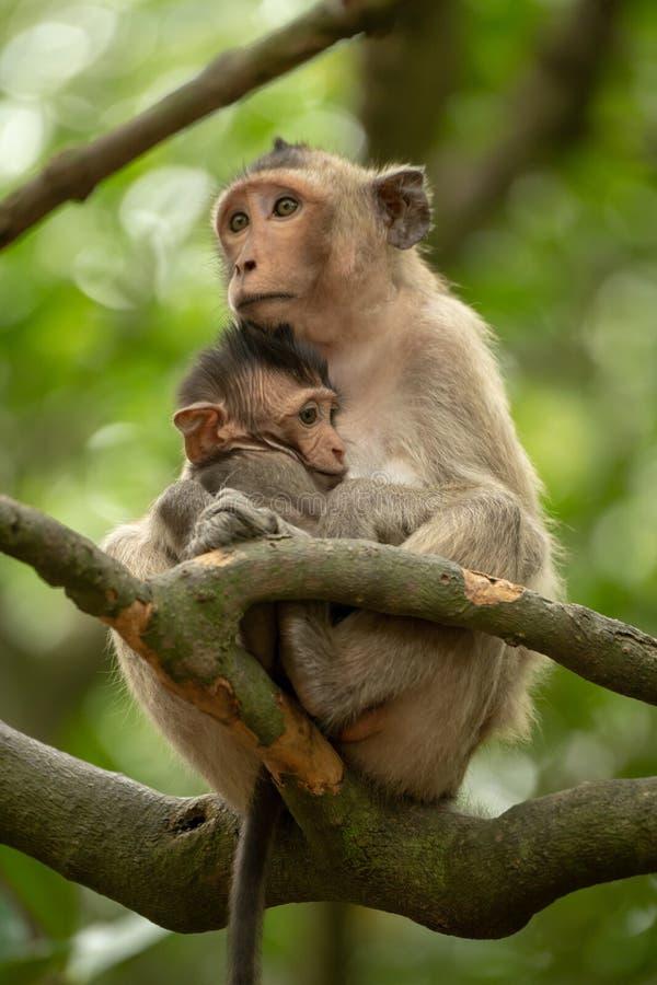 dentailed macaquen sitter kel behandla som ett barn i träd arkivfoto
