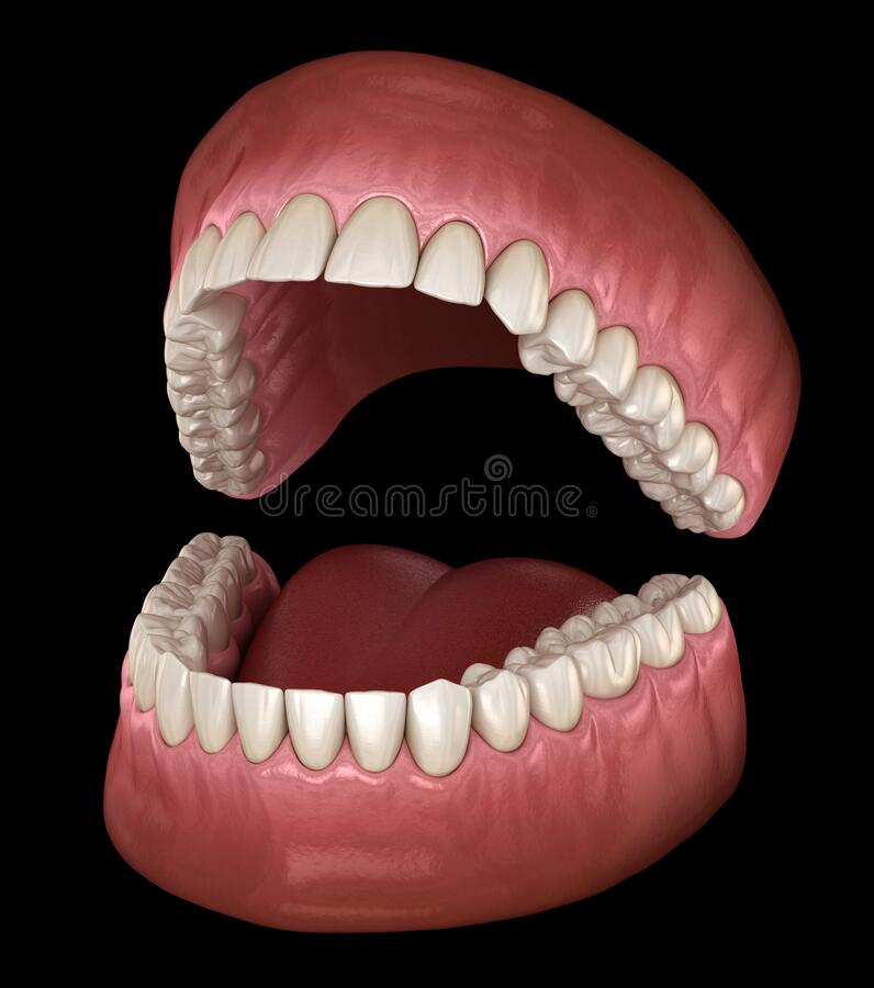 Free Dental Anatomy - Opened Dentures. Medically Accurate Dental Royalty Free Stock Images - 180486009