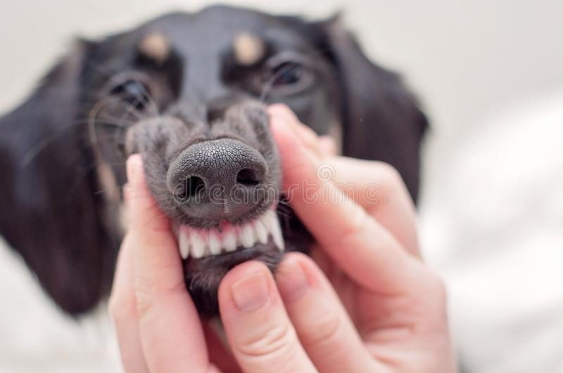 A dental health check - clean teeth of a dog, holding a mouth of a little black saluki puppy stock photos