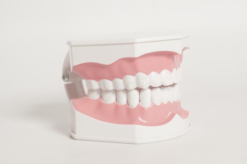 Dental human teeth model. On a white background stock photos