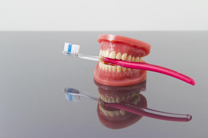 Dental hygiene and cleanliness concept. Dental hygiene and cleanliness concept with a toothbrush placed between the teeth on a set of toy plastic false teeth or royalty free stock photos