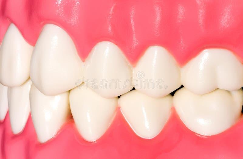 Dental Model Royalty Free Stock Photos