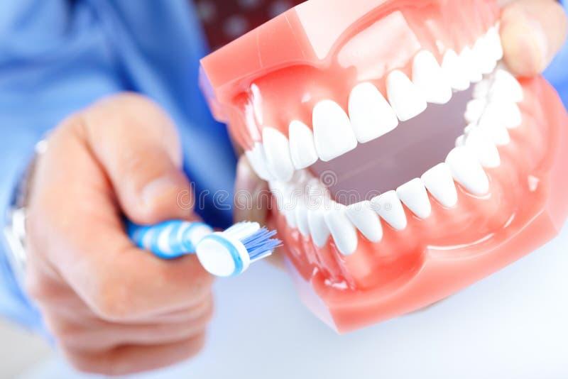 Dental model and teethbrush. Dental teeth model and teethbrush. Close up royalty free stock photos