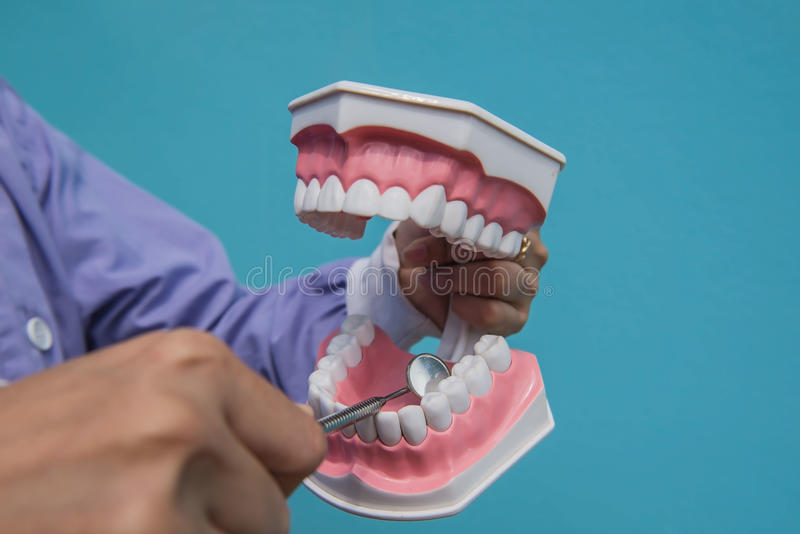 The dental model is used to teach how to check the cleanliness of the teeth by the doctor. Blue background royalty free stock image