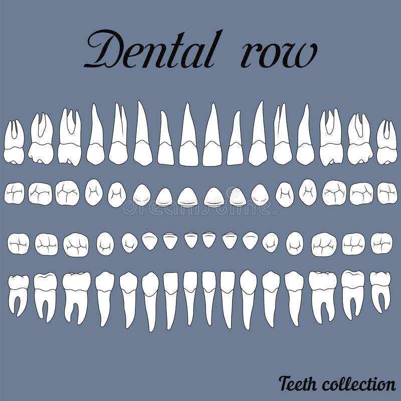 Dental row teeth. Anatomically correct teeth - incisor, cuspid, premolar, molar upper and lower jaw front and top views in on white stock illustration