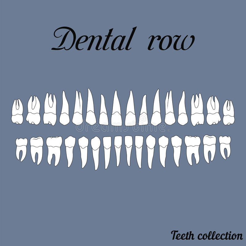 Dental row. Teeth - incisor, canine, premolar, molar upper and lower jaw. Vector illustration for print or design of the dental clinic royalty free illustration