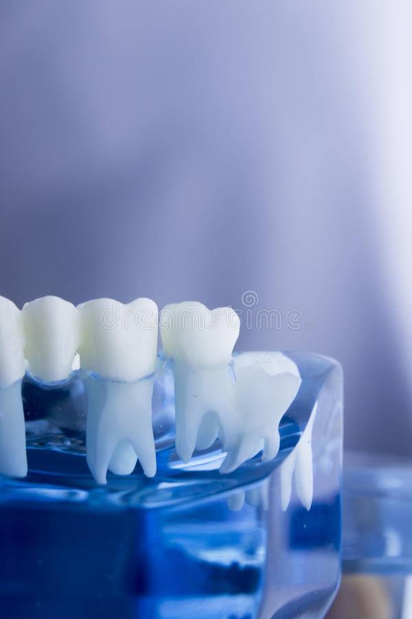 Dental teeth dentistry model. Dental tooth dentistry student learning teaching model showing teeth, roots, gums, gum disease, tooth decay and plaque stock images
