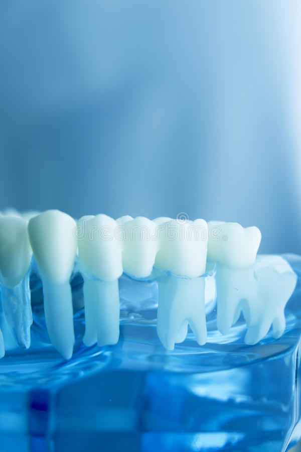 Dental teeth dentistry model. Dental tooth dentistry student learning teaching model showing teeth, roots, gums, gum disease, tooth decay and plaque stock photos
