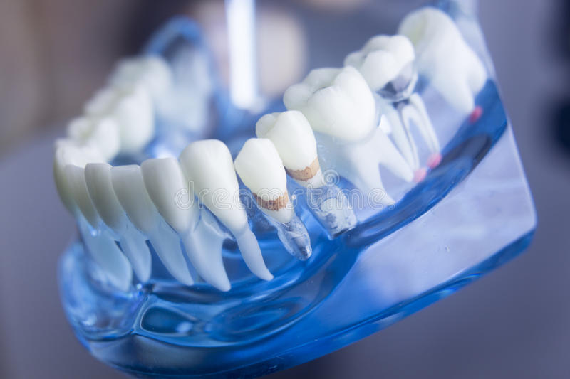 Dental teeth dentistry model royalty free stock photo