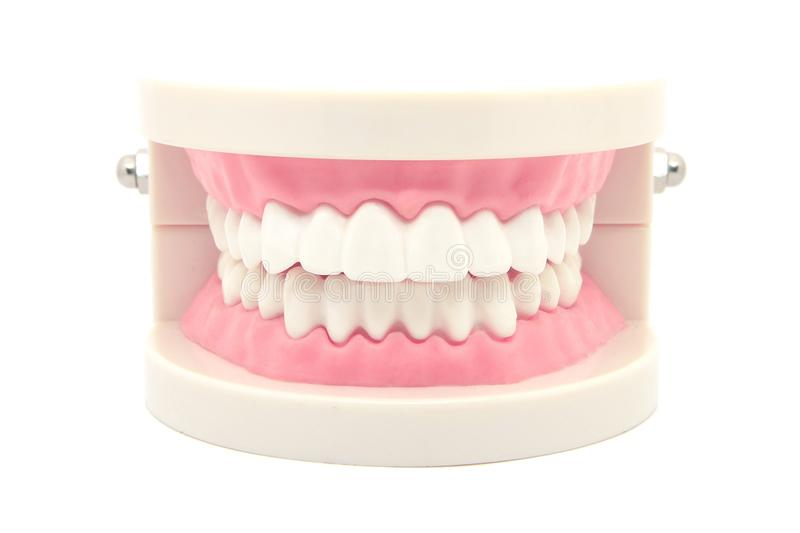 dental teeth model isolated on white royalty free stock image