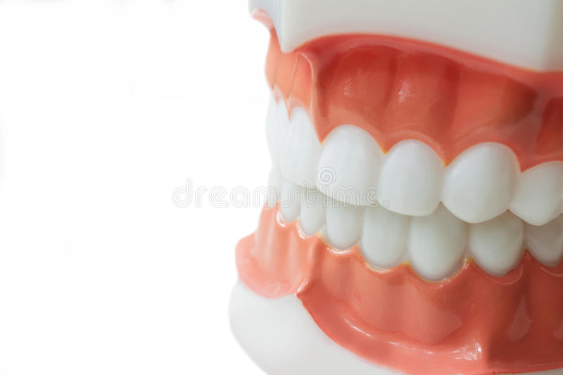 Dental teeth model on white background with clipping path royalty free stock image