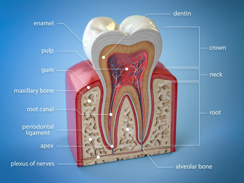 Dental tooth anatomy. Cross section of human tooth  with infographics and description. 3d illustration royalty free illustration