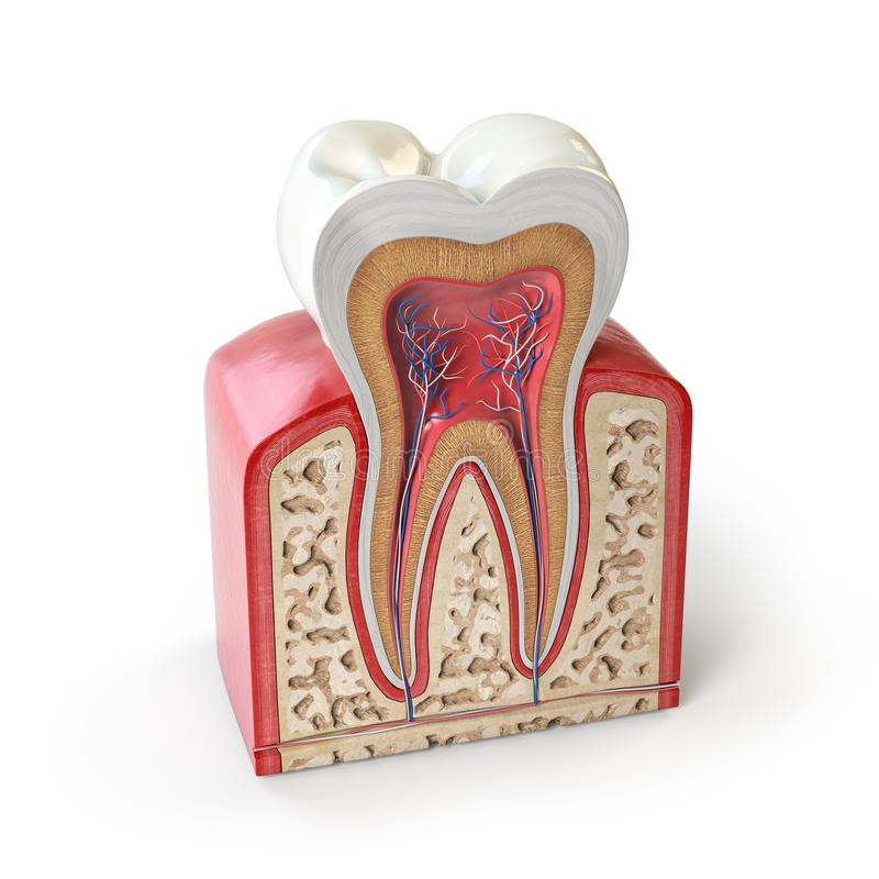 Dental tooth anatomy. Cross section of human tooth isolated on white. 3d illustration stock illustration