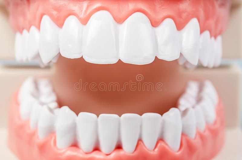 Dental tooth dentistry student learning teaching. Model showing teeth royalty free stock image