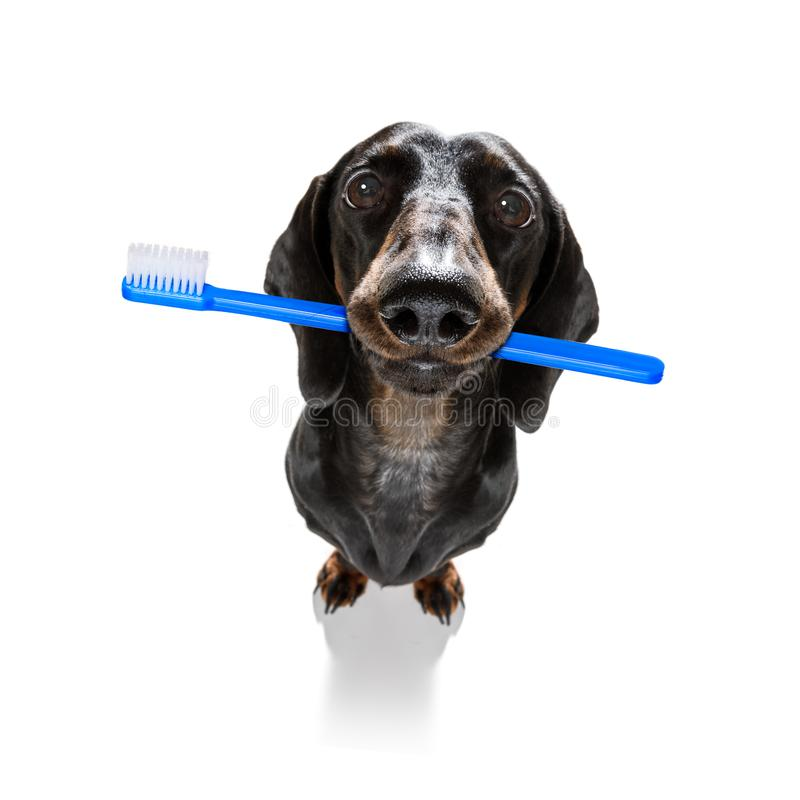 Dental toothbrush dog royalty free stock photos