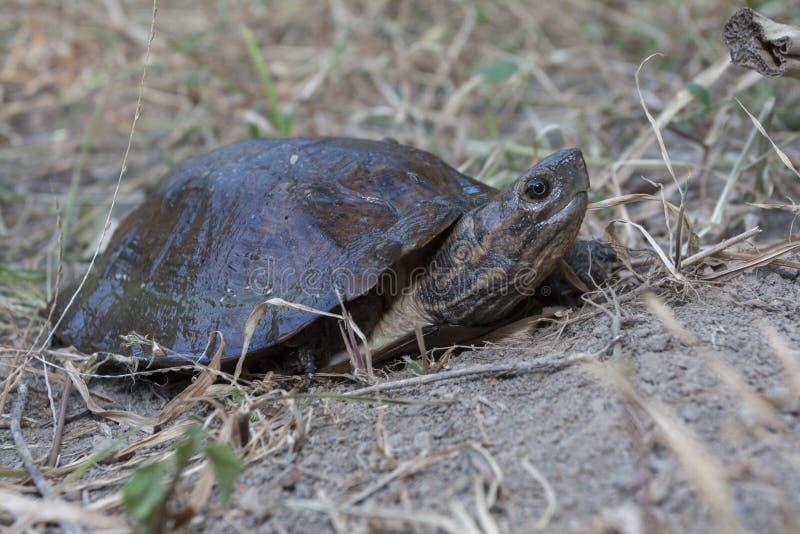 Dentata asiático de Cyclemys de la tortuga de la hoja fotografía de archivo libre de regalías