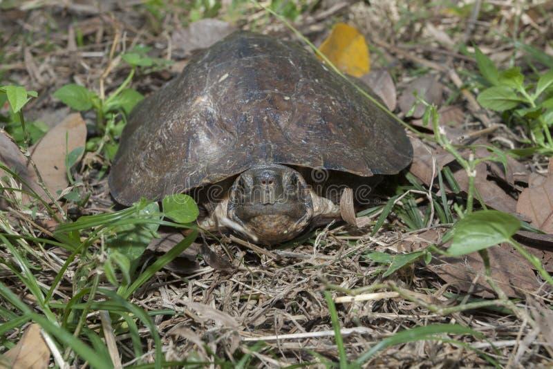 Dentata asiatico di Cyclemys della tartaruga del leafe fotografia stock libera da diritti