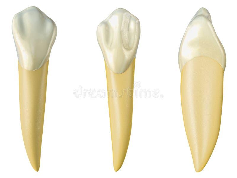 Dente canino mandibolare nelle viste orali, palatali e laterali Illustrazione realistica 3d del dente canino mandibolare royalty illustrazione gratis