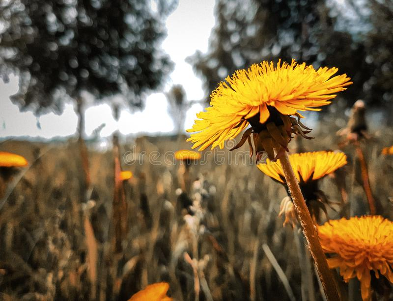 Dente-de-leão amarelo brilhante bonito, no fundo borrado da grama verde e das árvores foto de stock royalty free