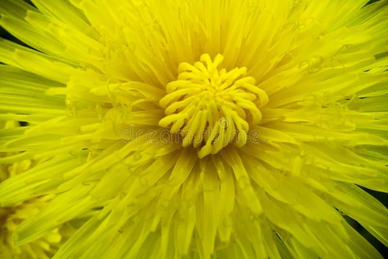 Dente-de-leão amarelo da flor romântica da mola no estilo macro fotografia de stock