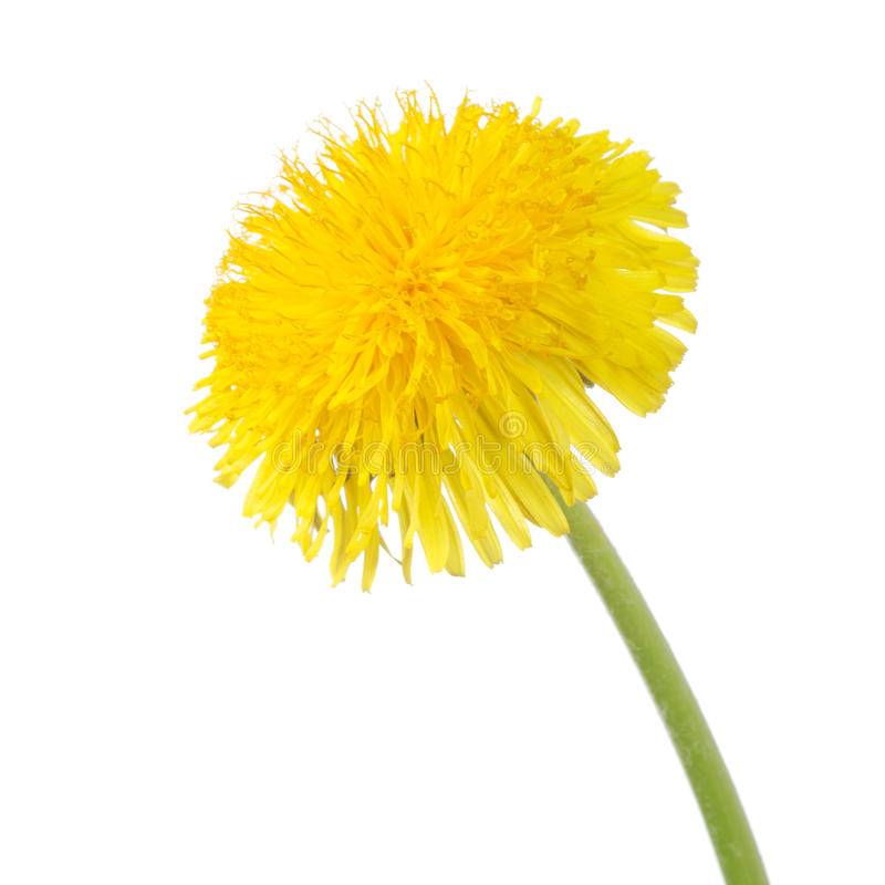 Dente-de-leão amarelo isolado em um branco imagens de stock