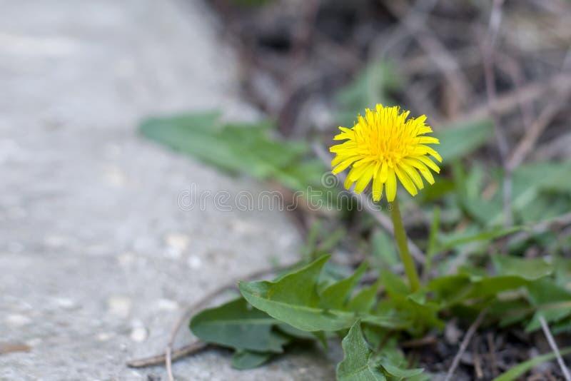 Dente-de-leão amarelo na terra Close-up amarelo bonito do dente-de-leão no parque foto de stock