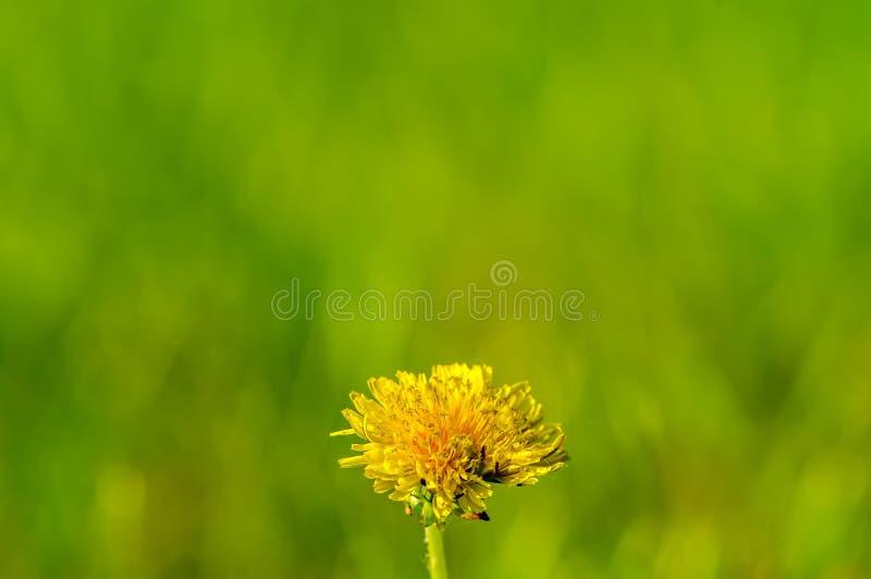 Dente-de-leão amarelo no verão com um fundo/bokeh verdes lisos cremosos imagem de stock royalty free