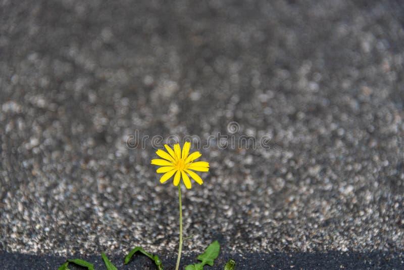 Dente-de-leão amarelo pequeno que cresce e que floresce com determinação em uma quebra entre o asfalto e o concreto imagens de stock royalty free