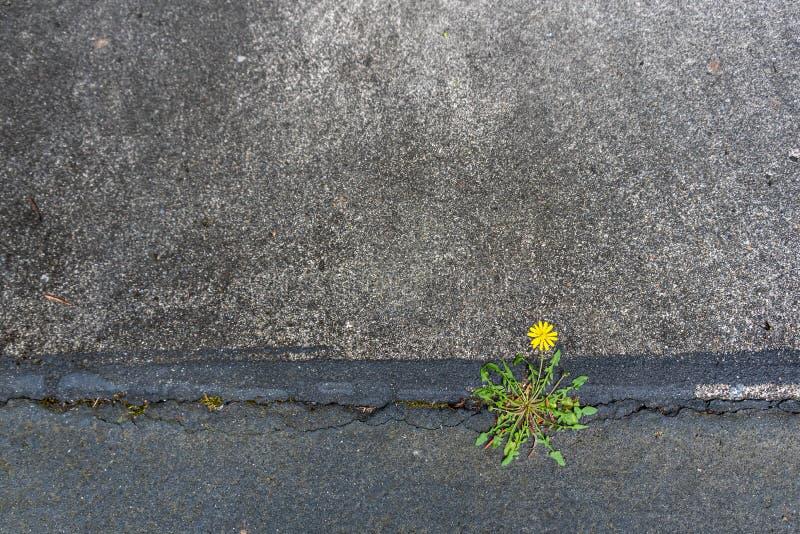 Dente-de-leão amarelo pequeno que cresce e que floresce com determinação em uma quebra entre o asfalto e o concreto fotos de stock royalty free