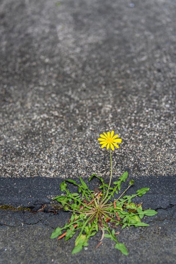 Dente-de-leão amarelo pequeno que cresce e que floresce com determinação em uma quebra entre o asfalto e o concreto imagem de stock