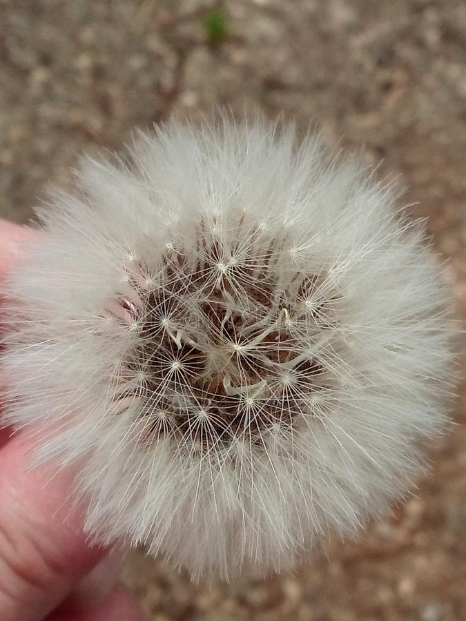 Dente-de-leão bonito com sementes, close-up foto de stock