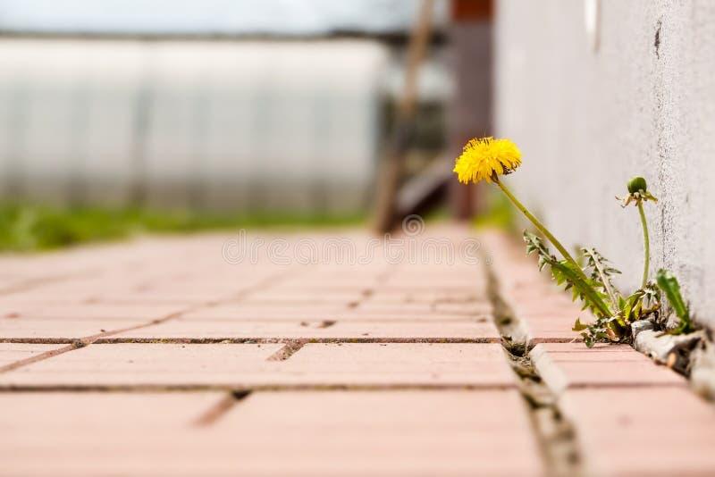 Dente-de-leão com crescimento de flor em passeios de uma quebra imagem de stock royalty free