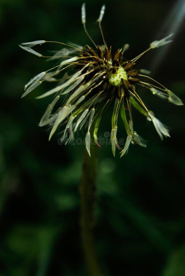 Dente-de-leão com sementes molhadas em um campo da grama verde após a chuva fotografia de stock
