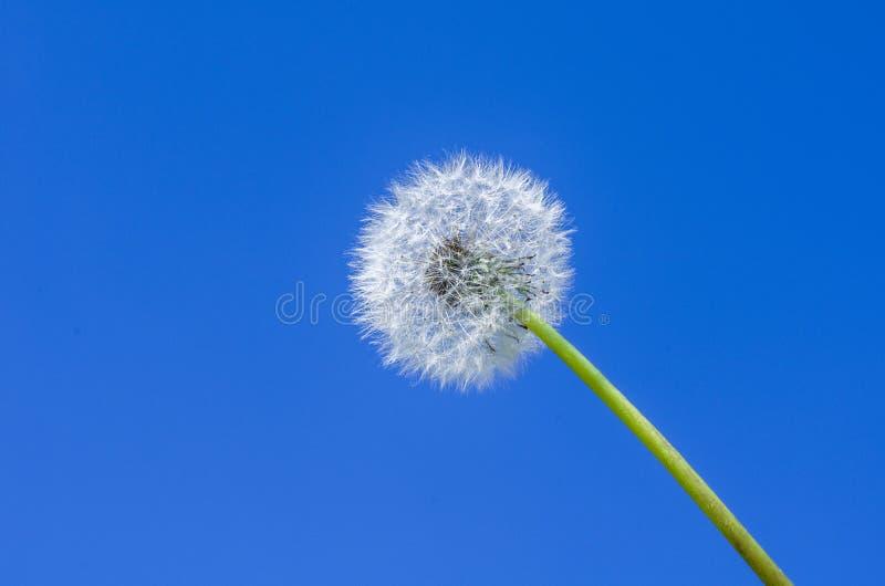 Dente-de-leão de encontro ao céu azul fotos de stock