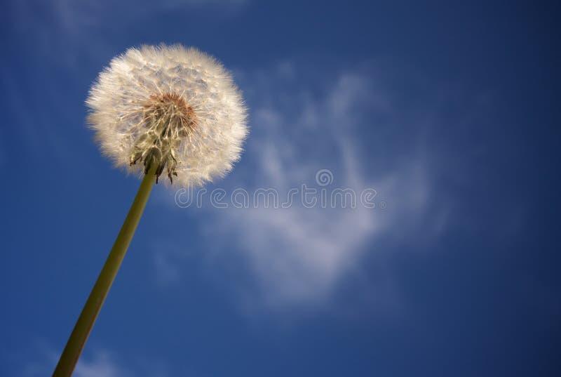 Dente-de-leão de encontro ao céu azul profundo fotografia de stock