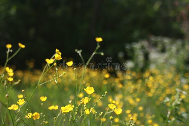 Dente-de-leão do outono em um macro verde do campo imagens de stock royalty free