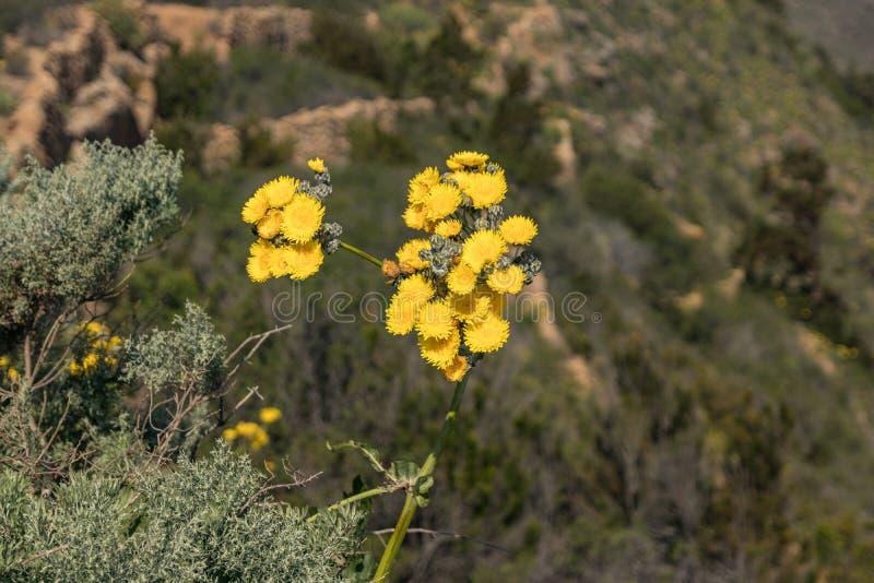 Dente-de-leão e abelhas amarelos gigantes de florescência que voam ao redor para pegarar o néctar Feche acima, foco seletivo Mont imagens de stock