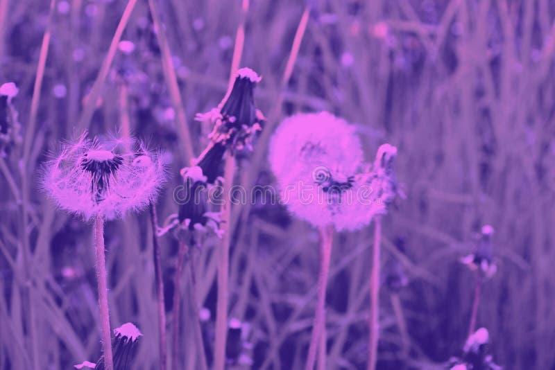 Dente-de-leão em um prado do alvorecer cor-de-rosa maduro imagens de stock royalty free