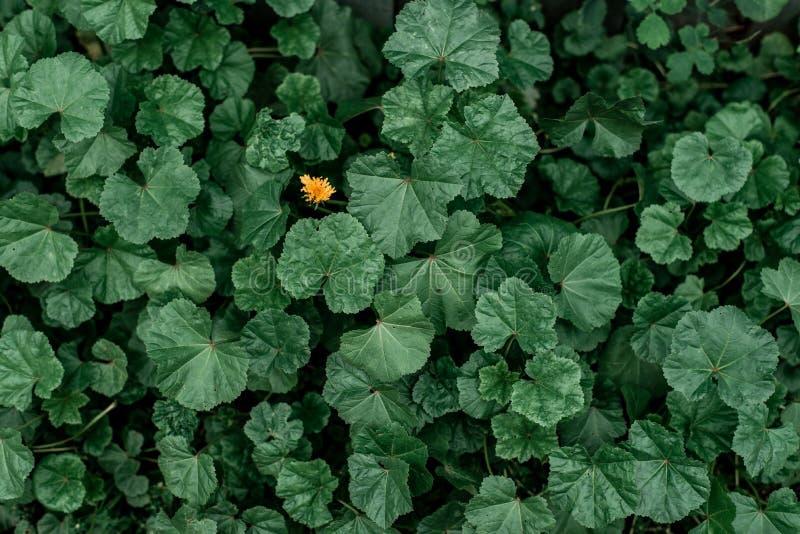Dente-de-leão entre plantas verdes na natureza O conceito é um A ideia é apenas você Prado do verão, plantas verdes do outono den fotografia de stock