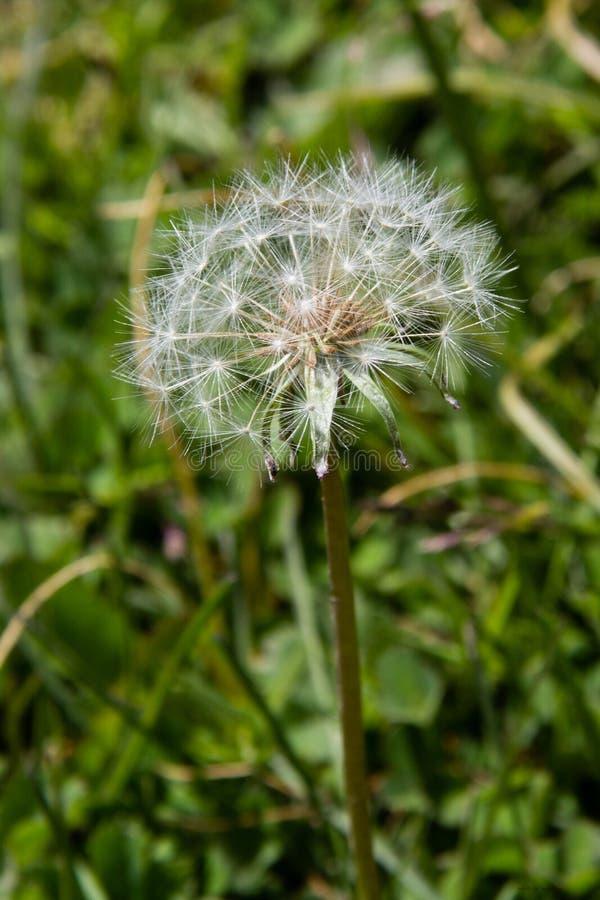Dente-de-leão, grama, flor fotos de stock
