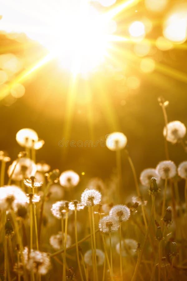 Dente-de-leão na luz solar imagem de stock royalty free