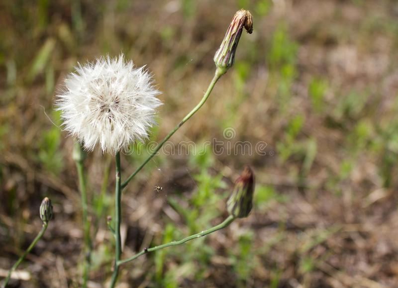 Dente-de-leão, natureza, fundo, verão, mola, verde, flor, branco, grama, natural, planta, bonito, abstrata, prado, semente, bea fotos de stock royalty free