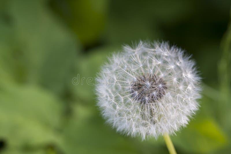 Dente-de-leão no jardim na mola, natureza da primavera Dente-de-leão branco bonito, primeira flor da mola fotos de stock royalty free