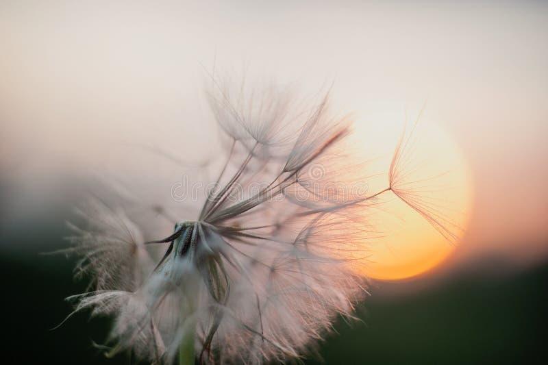 Dente-de-leão no por do sol Liberdade a desejar Flor macia da silhueta do dente-de-leão no céu do por do sol fotografia de stock royalty free
