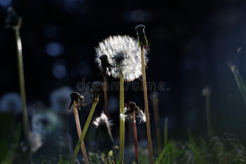 Dente-de-leão no sol fotografia de stock royalty free