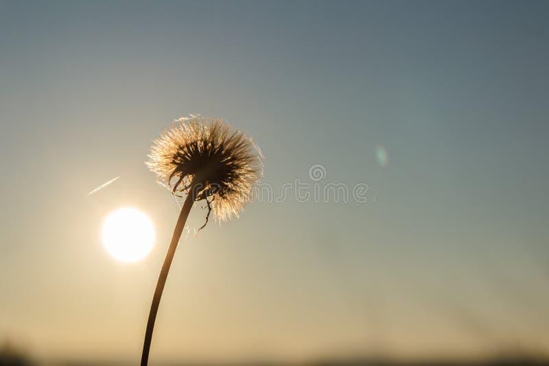 Dente-de-leão no sol foto de stock royalty free