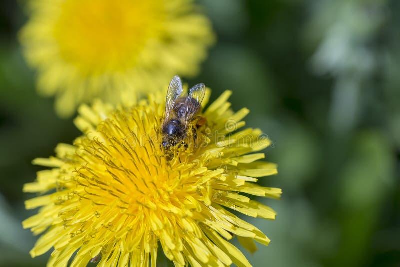 Dente-de-leão, officinale do Taraxacum Flor e abelha amarelas selvagens na natureza, fim acima, vista superior fotografia de stock