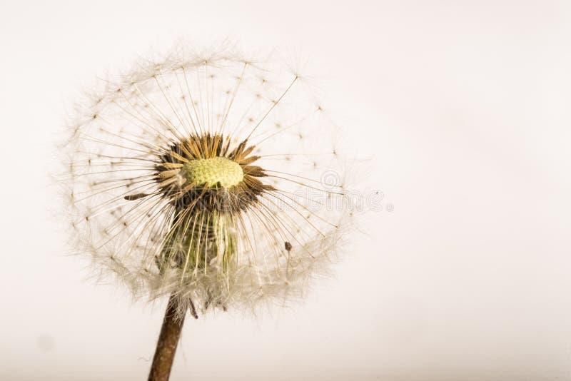 Dente-de-leão Seedpods - arranjo da semente - isolado fotos de stock royalty free
