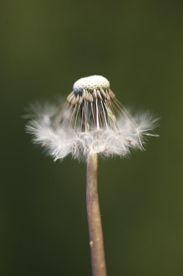 Dente-de-leão semeado metade   foto de stock